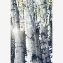 -Birch trees in the sunlight of Nadja jacket-21