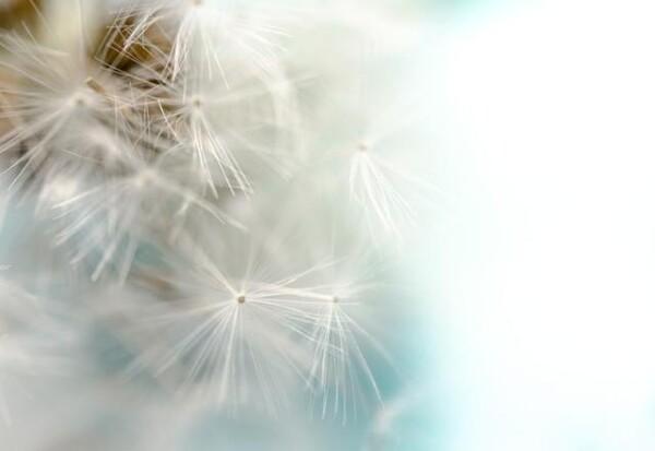 Dandelion by Gabriele Brummer | Photocircle