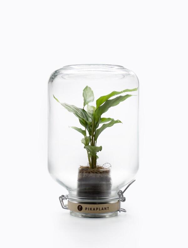Pikaplant Jar Calathea Concinna | Pikaplant
