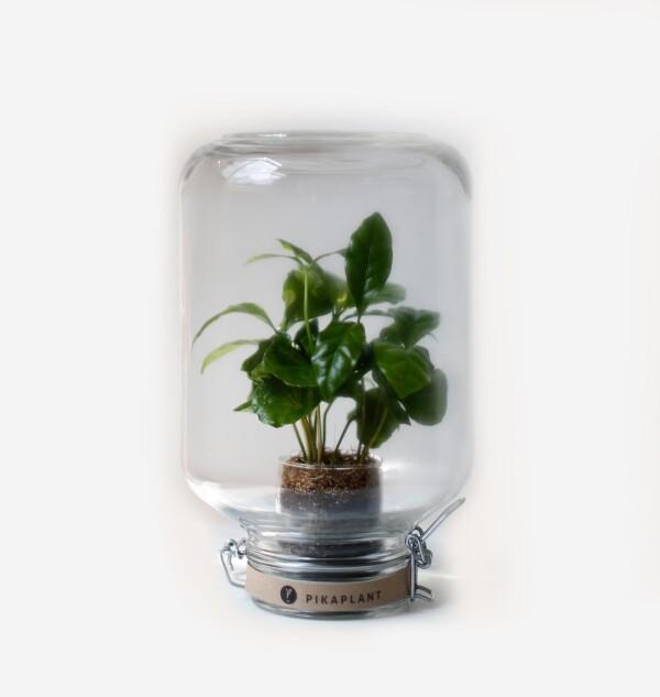 Pikaplant Jar Coffea | Pikaplant